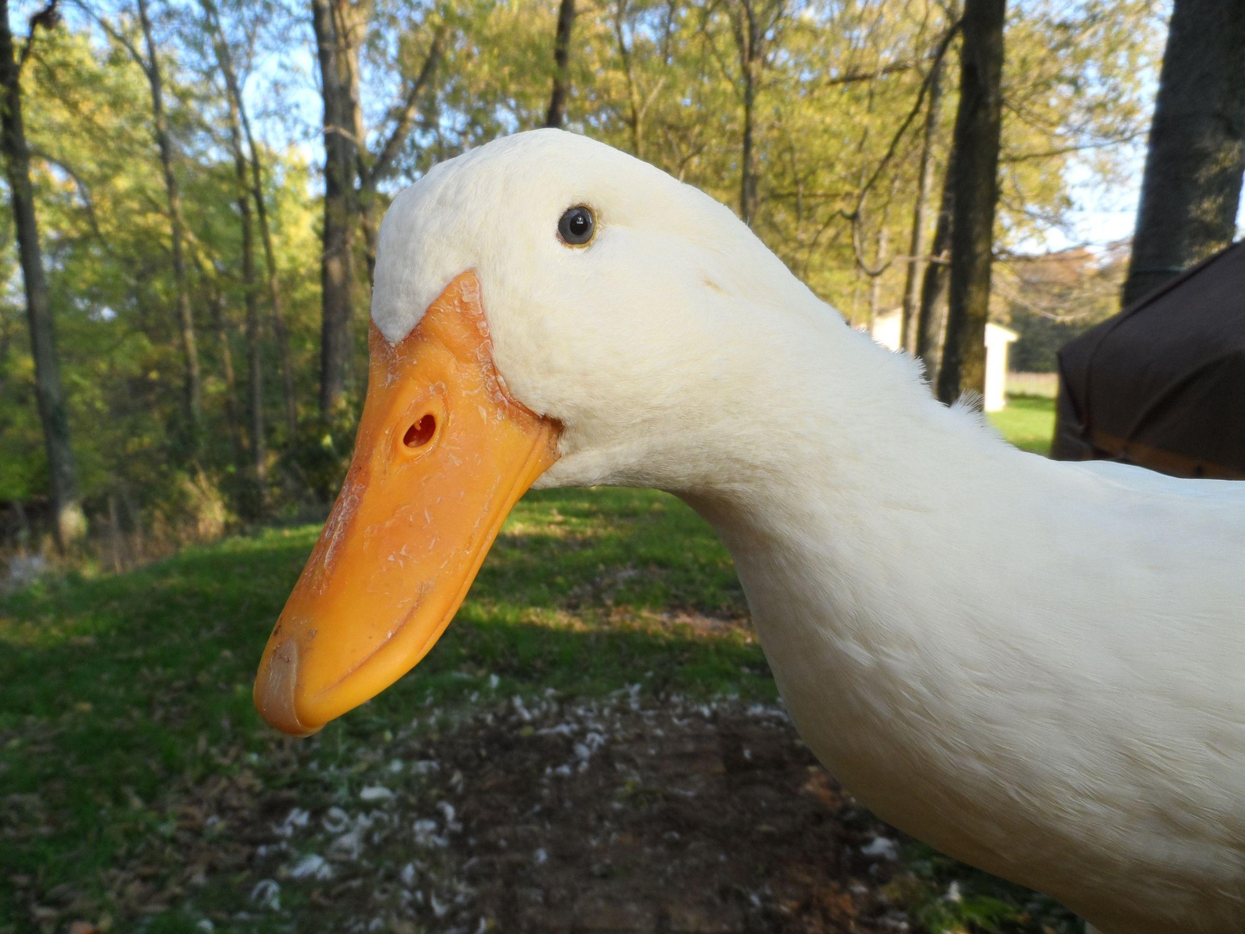 Backyard Duck Breeds  Pekins