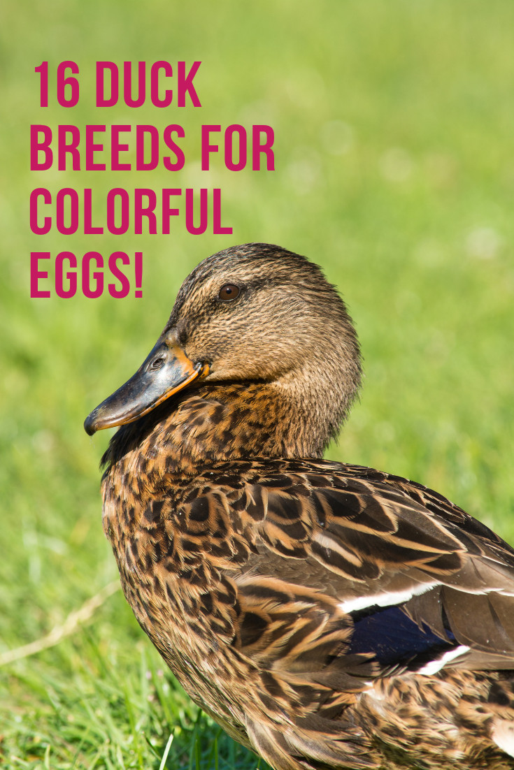 Backyard Duck Breeds  16 Duck Breeds For Colorful Eggs