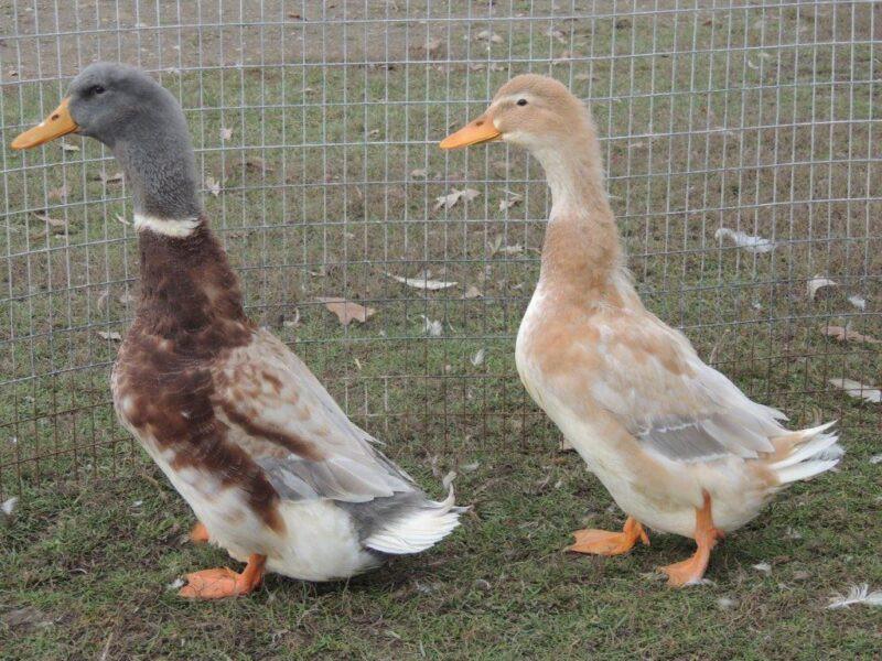 Backyard Duck Breeds  Great Backyard Duck Breeds The Cape Coop