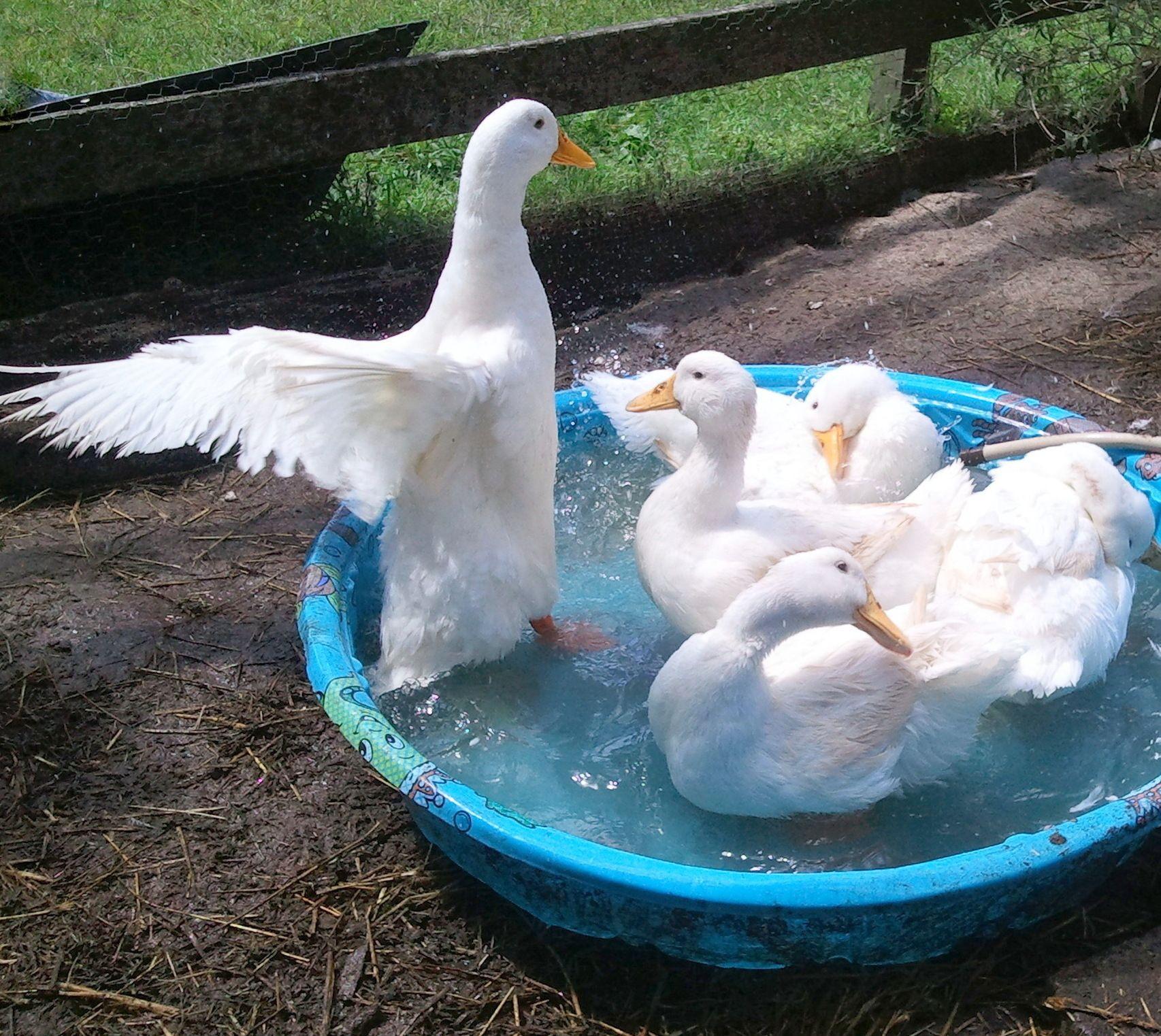 Backyard Duck Breeds  Pekin Duck Backyard Breed Profile