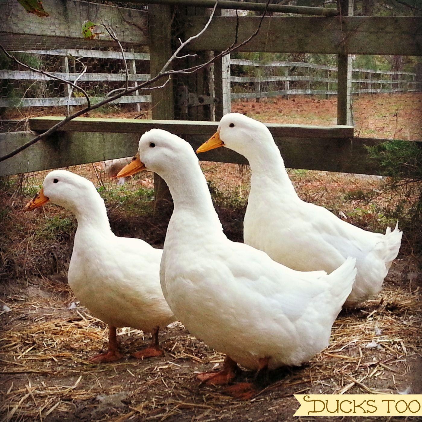 Backyard Duck Breeds  Backyard Breed Profile The Pekin Duck