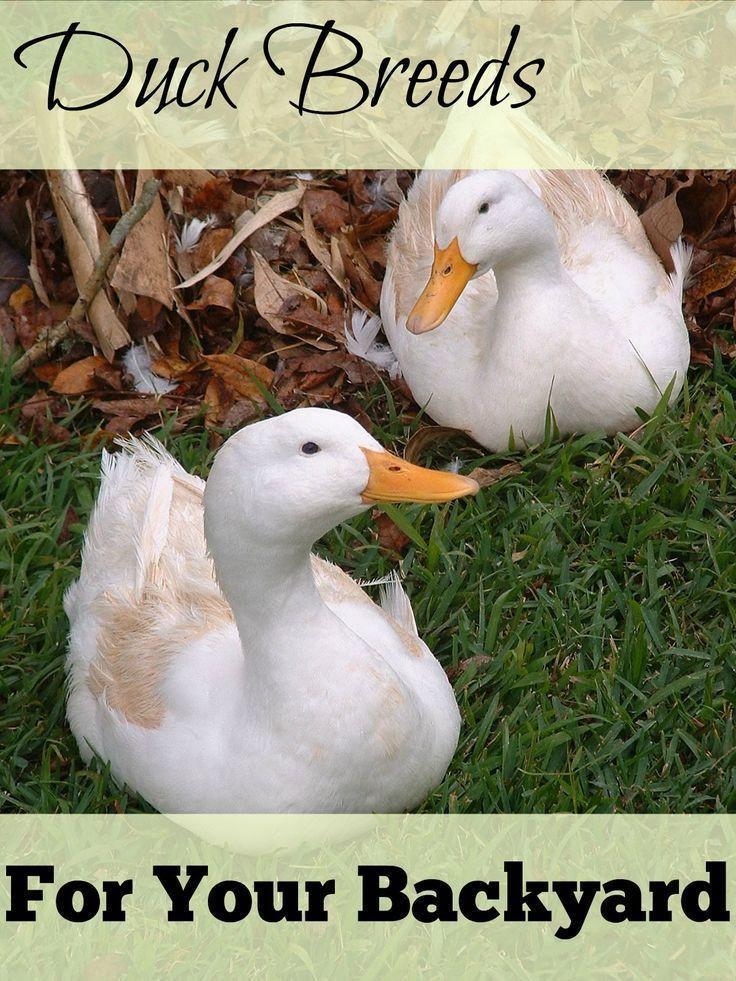 Backyard Duck Breeds  Great Backyard Duck Breeds