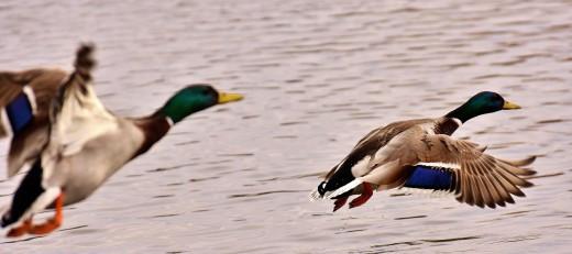 Backyard Duck Breeds  Top 10 Duck Breeds for Backyard Hobbyists