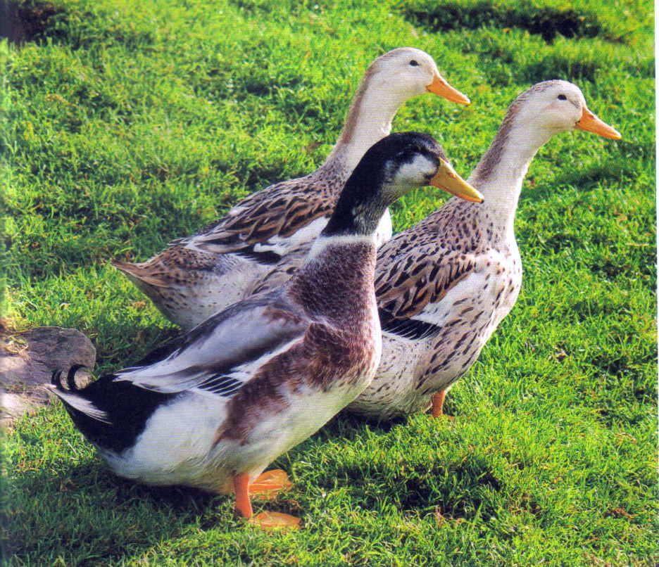 Backyard Duck Breeds  Silver Appleyard Duck breed standard With images