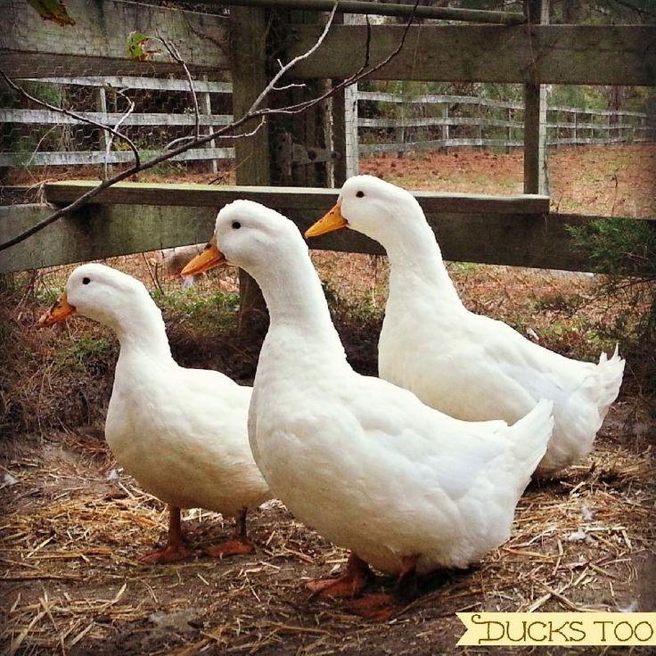 Backyard Duck Breeds  35 best Duck Breeds images on Pinterest